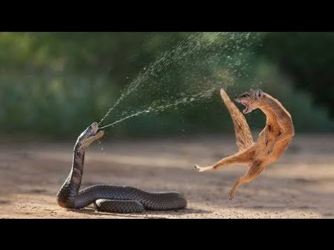 Snake King Cobra Vs Mongoose Real Fight Big Battle In The Desert | Most Amazing Attack of Animals