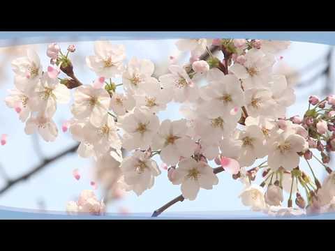 현장카메라 32편_양재천 벚꽃 축제