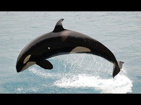 أعماق العلوم ح(3) - من أشرس أنواع الحيتان ... الحيتان القاتلة !