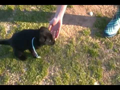 Embers Miss Spring Bouquet Black Female Puppy