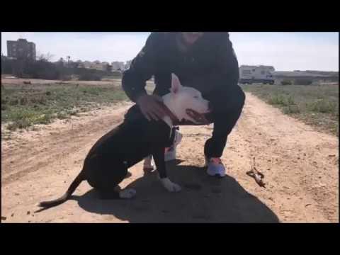Как разжать челюсти бойцовской собаке, питбулю, стаффу в драке?