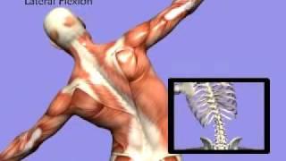 3D Back Muscles