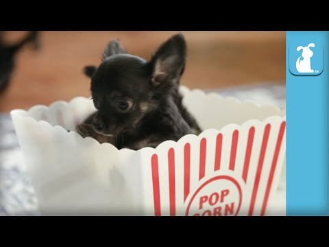 funny chihuahua puppies are popcorn puppies