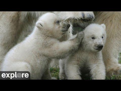 Eisbären - Niederlande - Ouwehands Dierenpark Rhen ...
