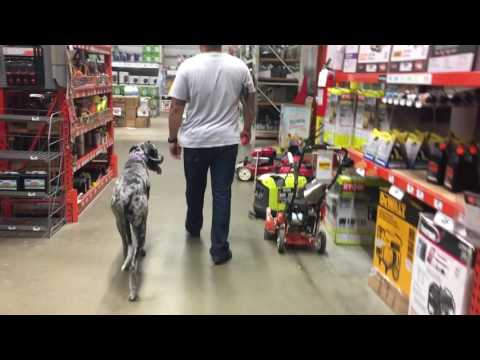 Video 9-Month Old Great Dane, Duchess!  Off Leash K9 | Great Dane Dog Trainers download in MP3, 3GP, MP4, WEBM, AVI, FLV January 2017