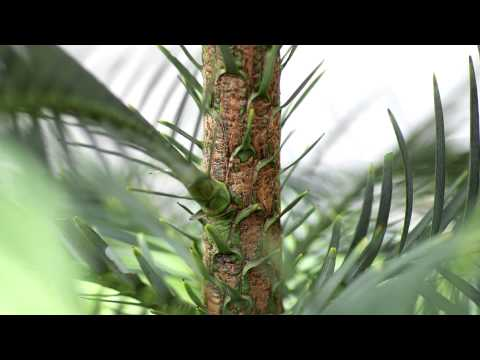 Wollemi Pine — a living fossil