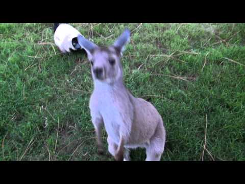 Kangaroo and Lemur plays tag