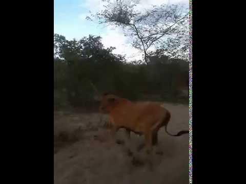 Pega de boi no mato Floresta do Piauí