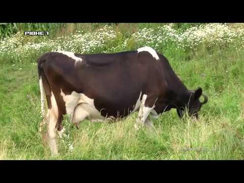 На Рівненщині правоохоронці знайшли крадіїв корів [ВІДЕО]