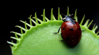 Venus Flytrap eats Ladybug (Animals have emotions)