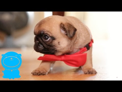 The ABSOLUTE CUTEST Pug Puppy In A Bow Tie!