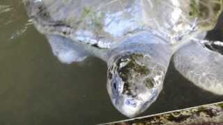 Habaraduwa Sri Lanka  city pictures gallery : Turtle Hatchery - Habaraduwa Sri Lanka