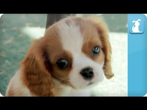 cavalier king: puppy love!