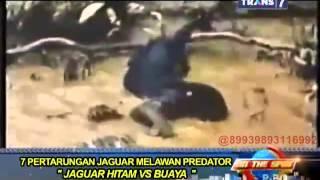 Video On The Spot - 7 Pertarungan Jaguar Melawan Predator MP3, 3GP, MP4, WEBM, AVI, FLV Desember 2018