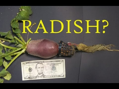 Indoor Winter Garden 2013: Giant Hydroponic Radish
