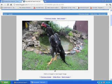 Asil (chicken) - PLEASE READ.. People who like to breed chickens, these birds in the video are what you call proper breeds. so if you like to breed good, top quality breeds y...