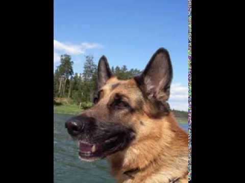 German Shepherd Facts – Facts About German Shepherds
