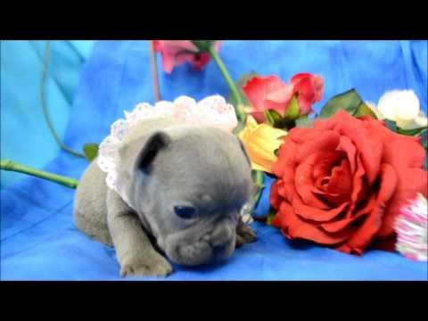 Bonnie Blue Blue French Bulldog Puppy, AKC atat