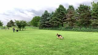 Training German Shepherds (Nashville Dog Training)