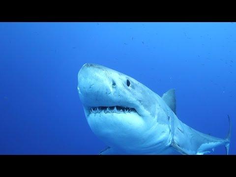 Grote Witte haaien bij Guadalupe Eiland