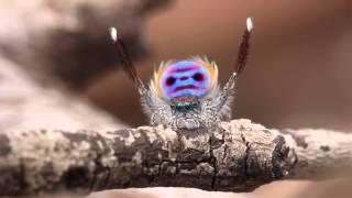 Video Peacock Spider Dances to YMCA MP3, 3GP, MP4, WEBM, AVI, FLV Februari 2018
