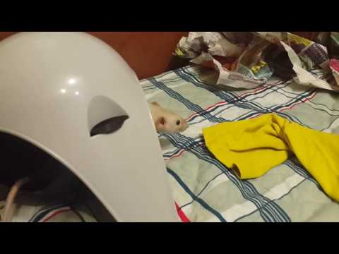 Крысята Веня и Эдик первые дни дома и прогулка. (видео)