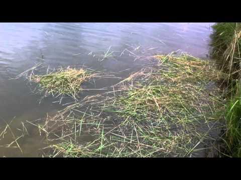 видео ловить амура на камыш
