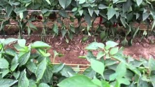 Cultivos de pimientos Fruolmos