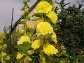 Видео - Любимые цветы на даче. МАЛЬВЫ. Malva.