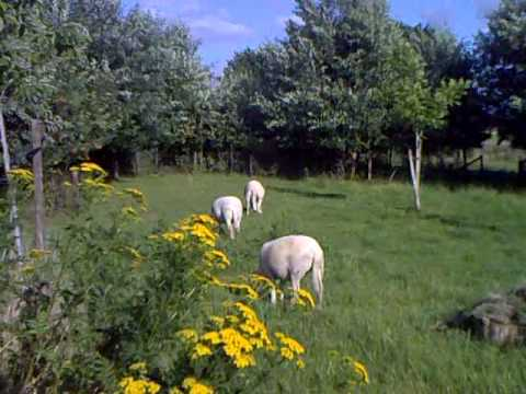 Wiltshirehorns