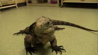 Exotic Pet Vet Smart Fact Series - Iguanas