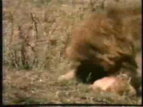 0 Lions and Cubs Infanticide