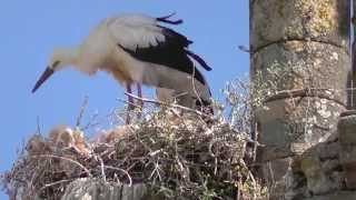 Trujillo Spain  City pictures : SPAIN nestling storks at Trujillo, Extremadura (hd-video)