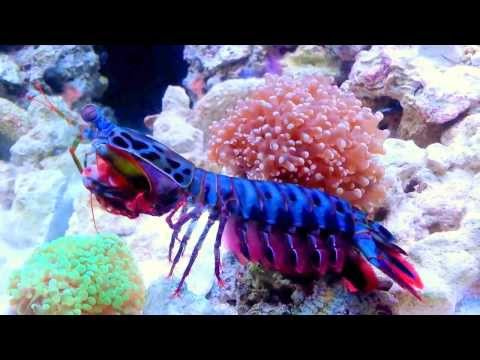 la canocchia pavone uno degli organismi marini più belli!