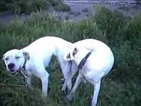 dogs mating with humans for real. Dogo Argentino,dogs mating