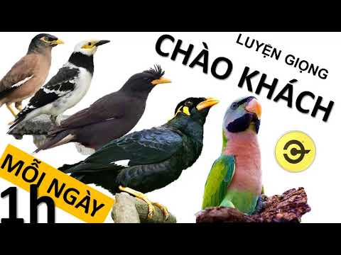 Luyện chim nói : CHÀO KHÁCH  - sáo ,nhồng, cưỡng , vẹt Nói tiếng người 1H