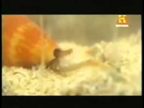 El animal mas venenoso del mundo: El caracol cónico