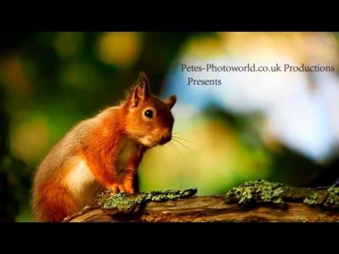 Brownsea Islands Red Squirrels