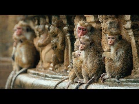 Monkey Kingdom (Teaser)