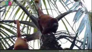 Red Howler Monkey at la Selva - La Selva Amazon Ecolodge & Spa - Ecuadorian Amzon
