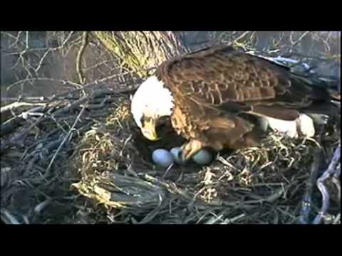 Eagles Nesting In Decorah Iowa