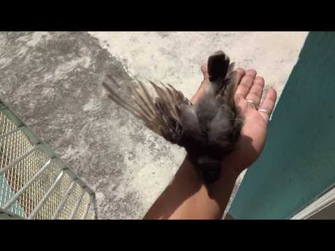 Video Bulbul Bird (red vented bulbul) PART 1 download in MP3, 3GP, MP4, WEBM, AVI, FLV January 2017