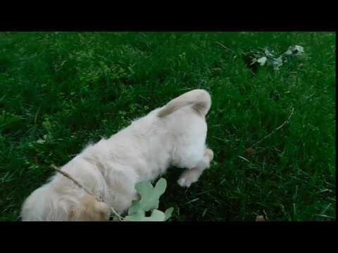 ACHC Registered Labradoodle Duke