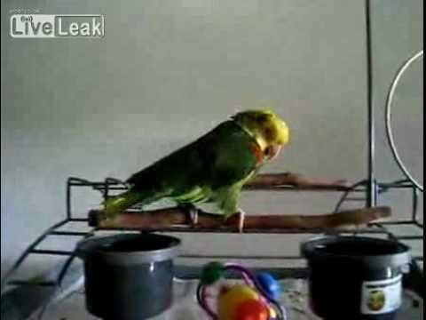 超強!會學嬰兒哭的鸚鵡,他是怎麼辦到的?