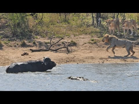 Herd Rescues Buffalo from Lions and Crocodiles!