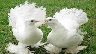 Güvercin Çeşitleri ve Özellikleri