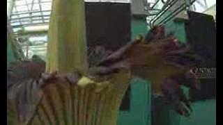 Gustavus Corpse Flower (Titan Arum) Blooming May 12-14 Cam 1
