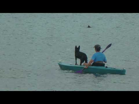My vacation dirty dolphin dolphins help save dog from drowning