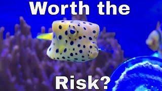 Video Do you really want a Boxfish? (Ostracion cubicus) MP3, 3GP, MP4, WEBM, AVI, FLV Oktober 2018