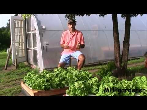 Hydroponic Update: Warm Weather Lettuce and Dutch Bucket Tomatoes